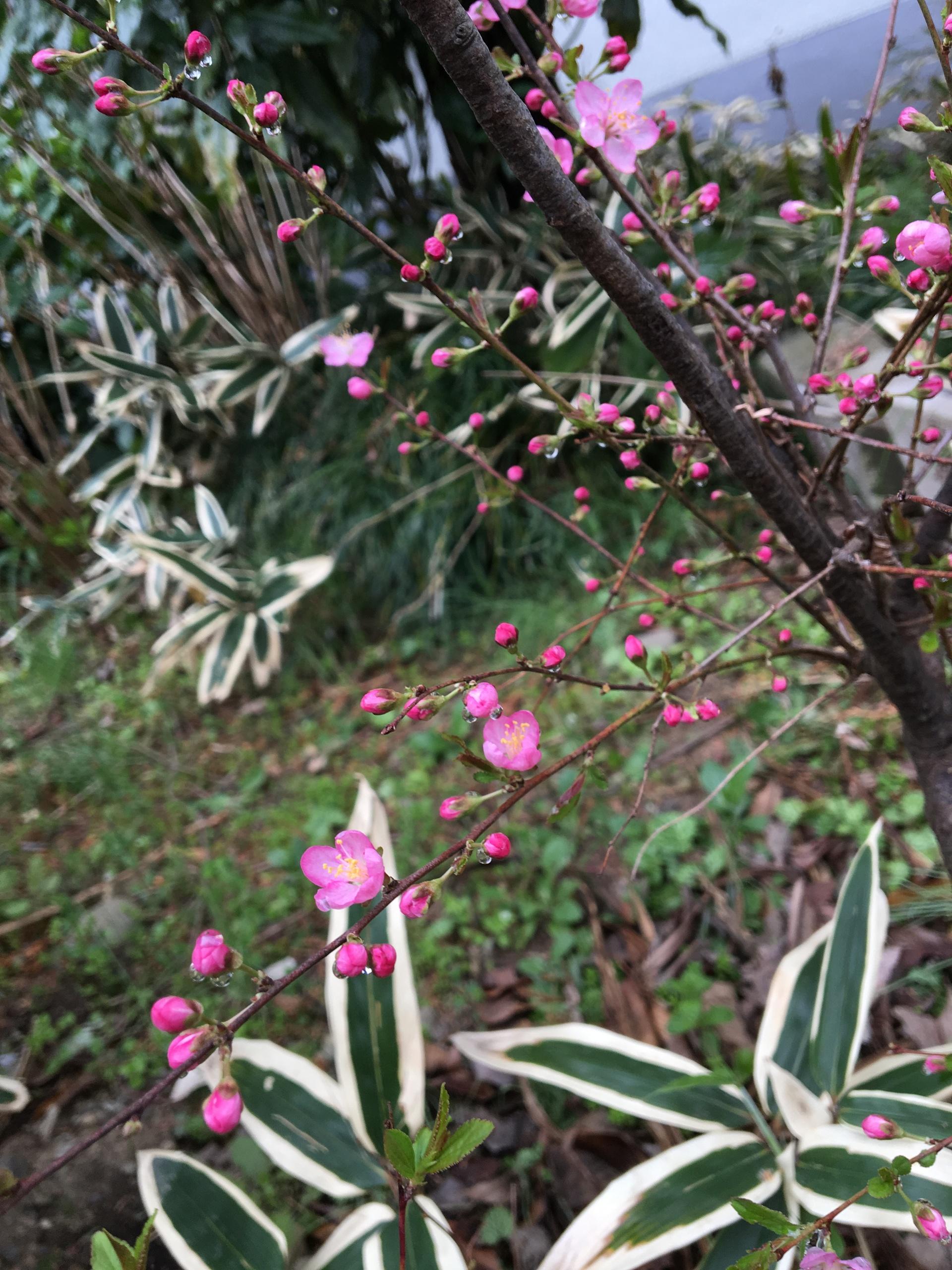 Ume blossom   gato.gordi, botany, color, flora