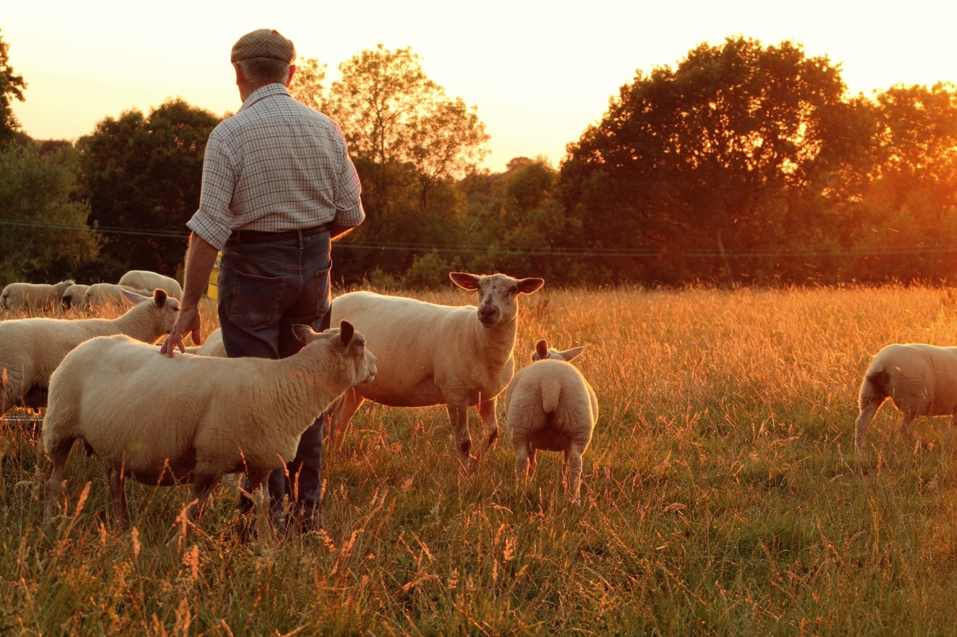 Feeding time. The farmer tending to his sheep/flock at the golden hour