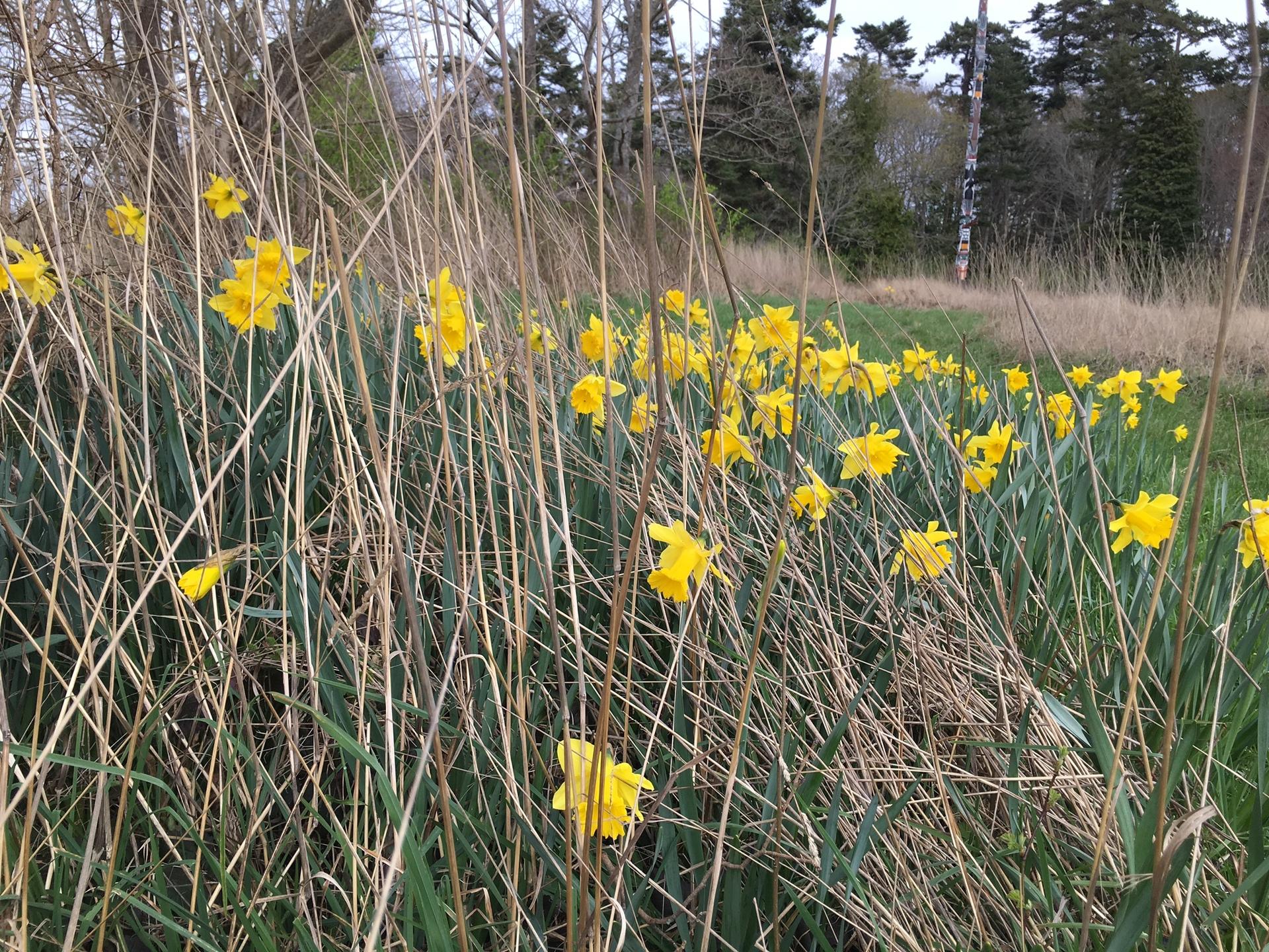 Daffodils in bushes   olivija, bloom, environment, field