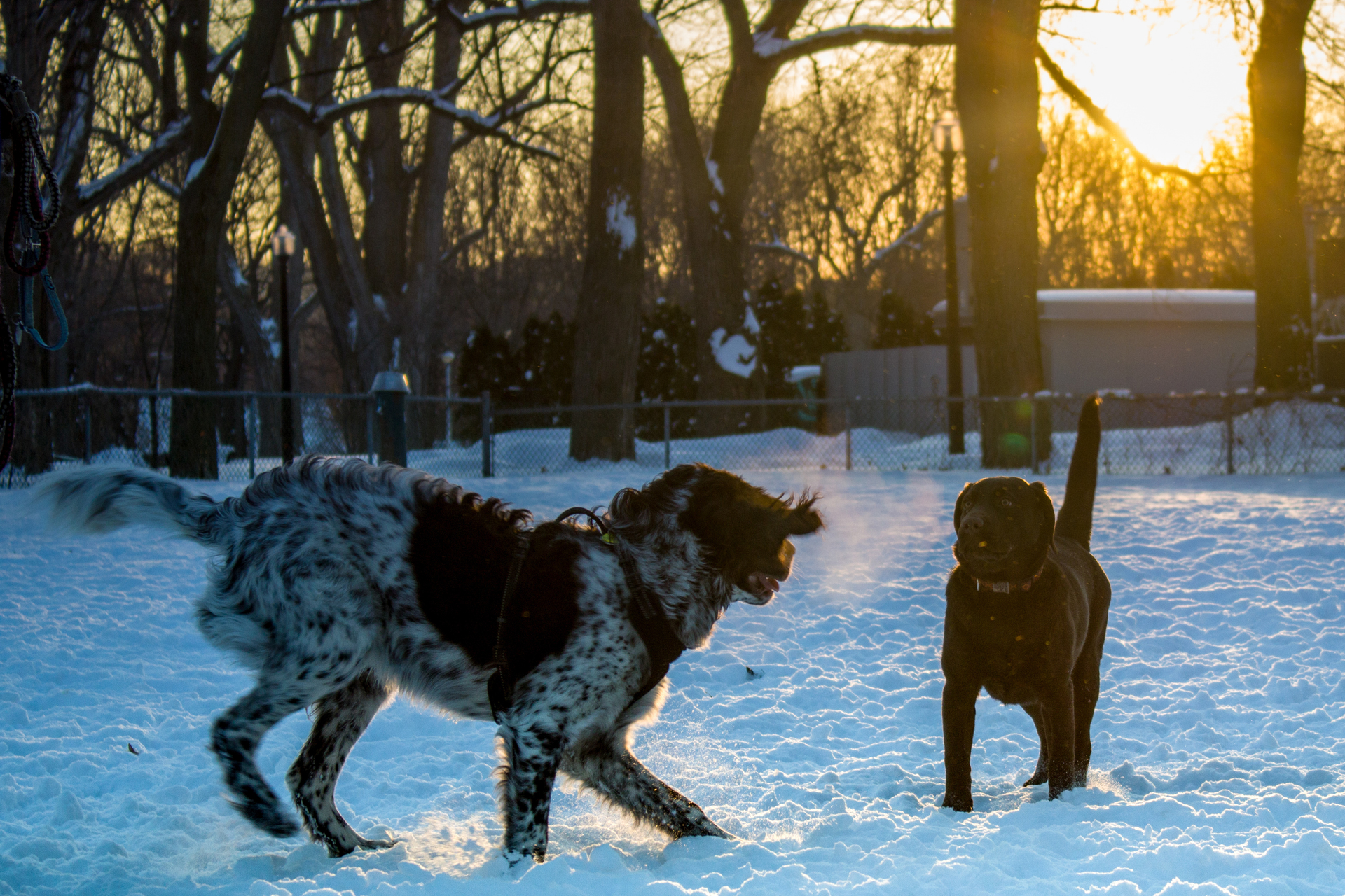 Dogs playing with sunset | rick.cognyl.fournier, winter, snow, cold