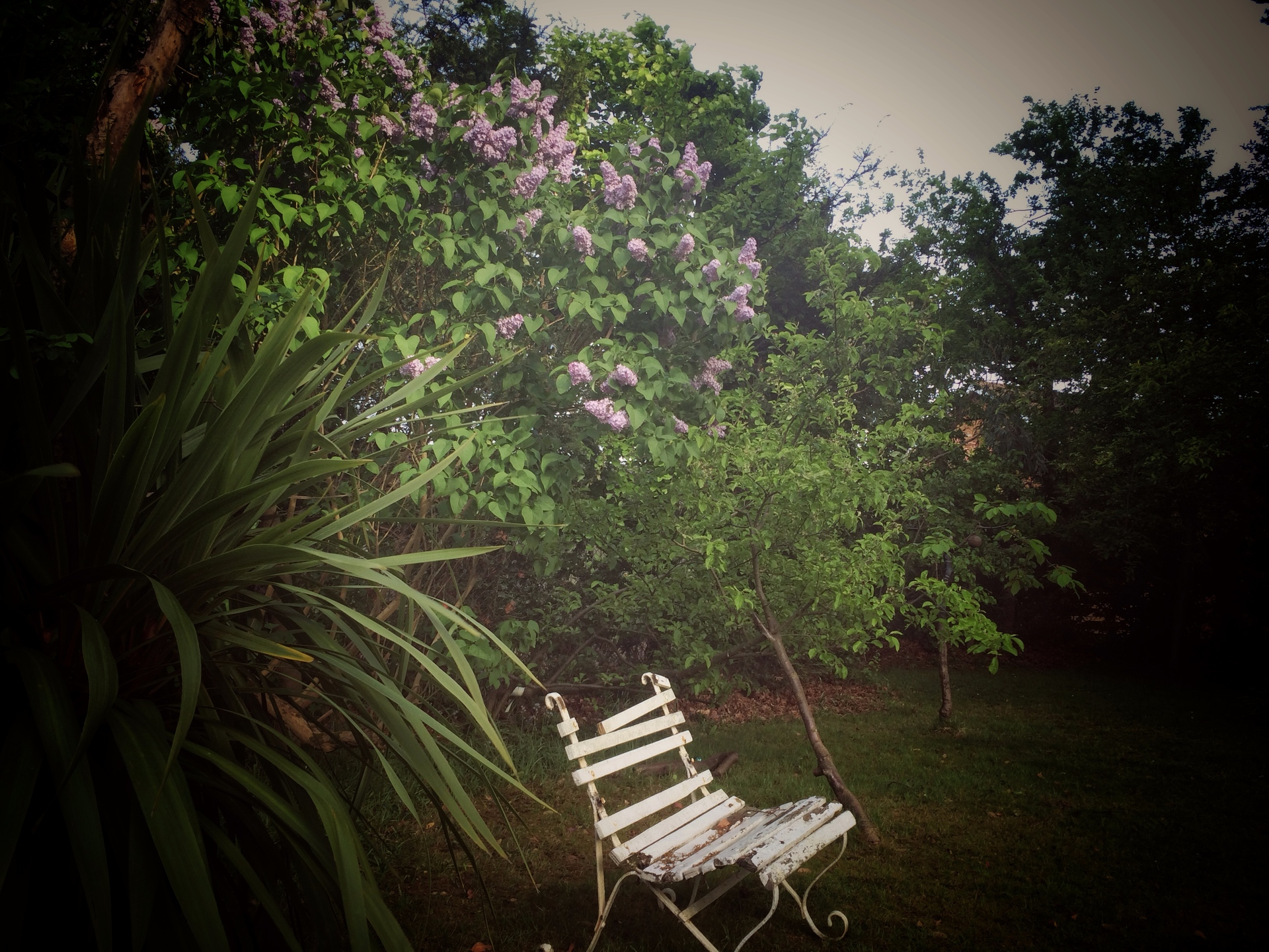 Old chair under spring lilac blossom.