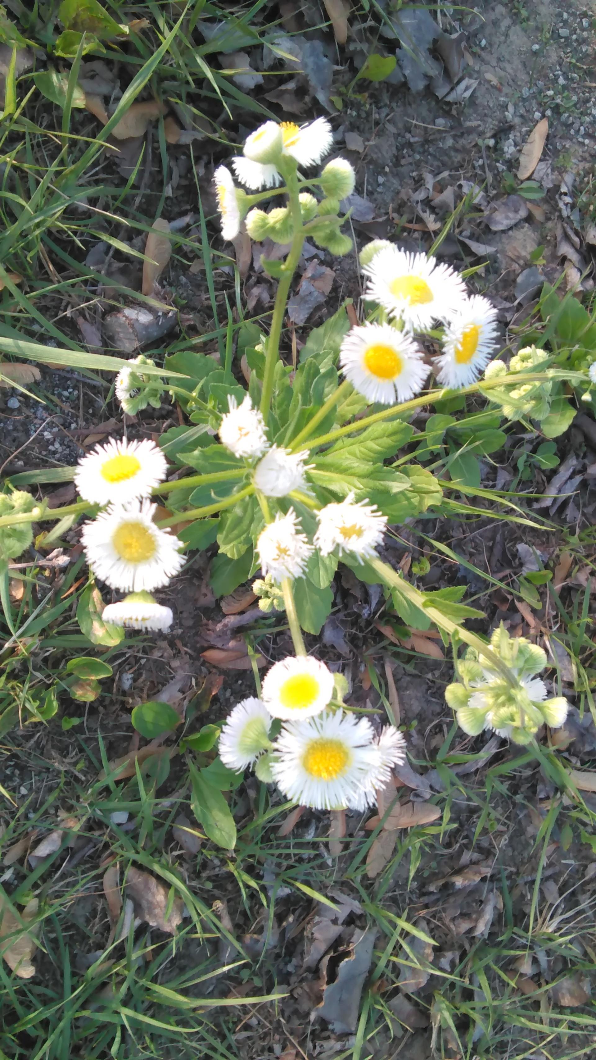 Daisy spray | codenamesailorearth, bloom, blossom, closeup