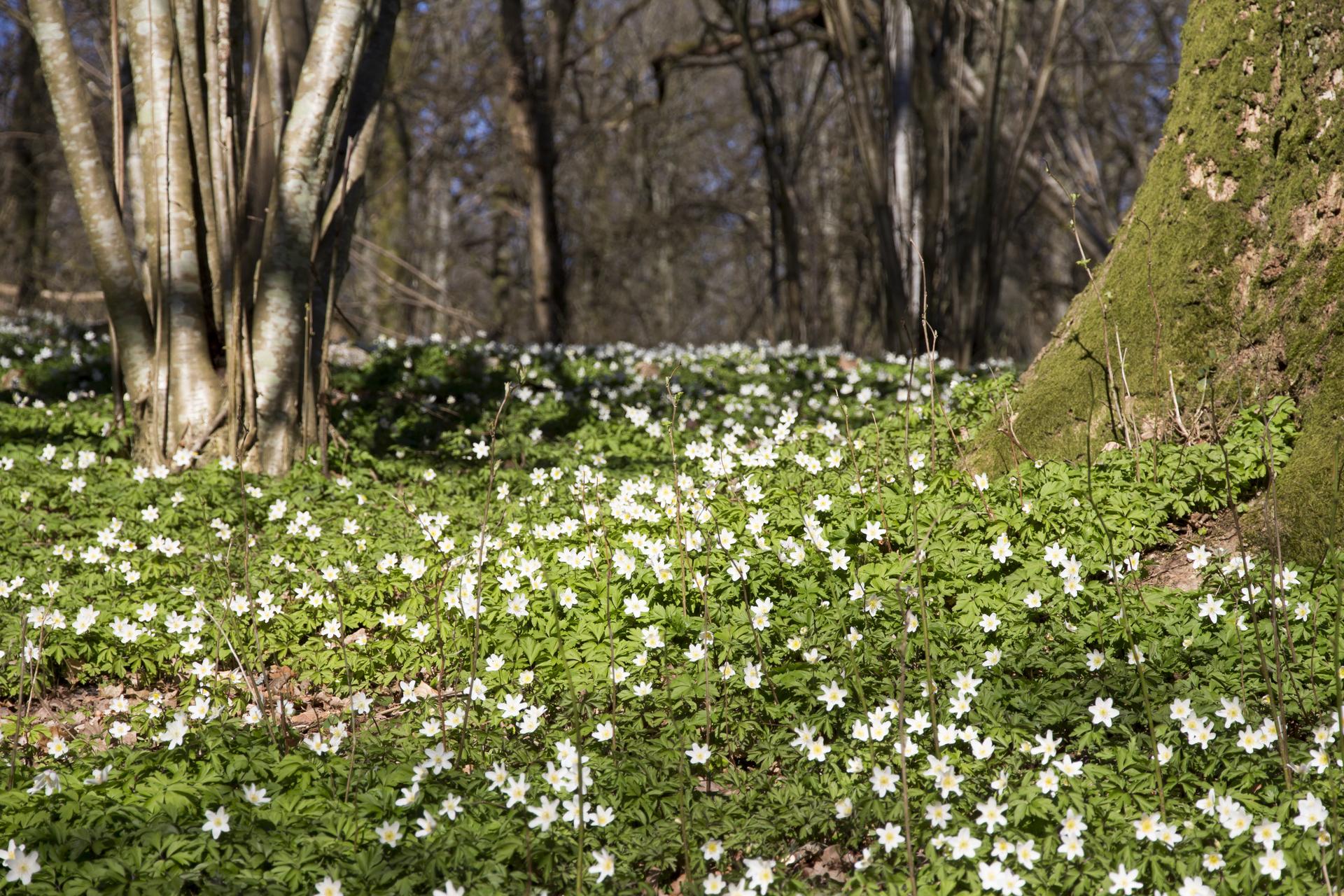 Wood anemone forest . Vitsippor skog