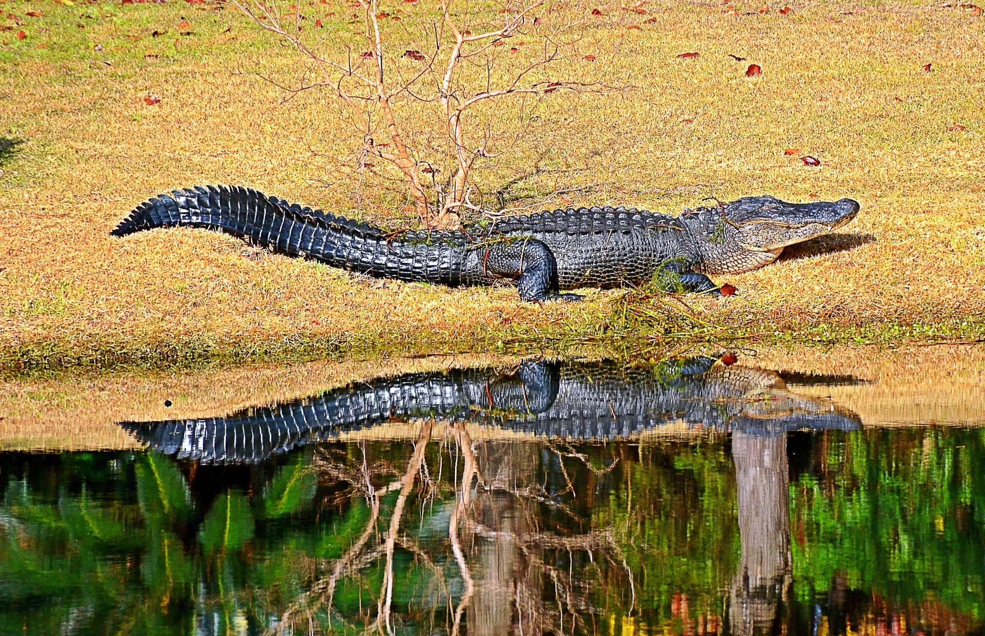 Reflection of an Alligator