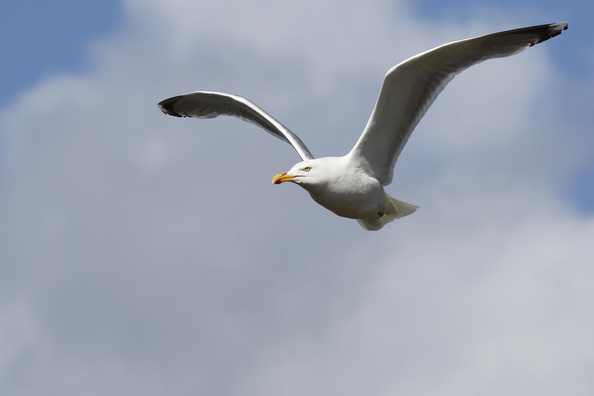 Seagull flying -  gråtrut mås flyger