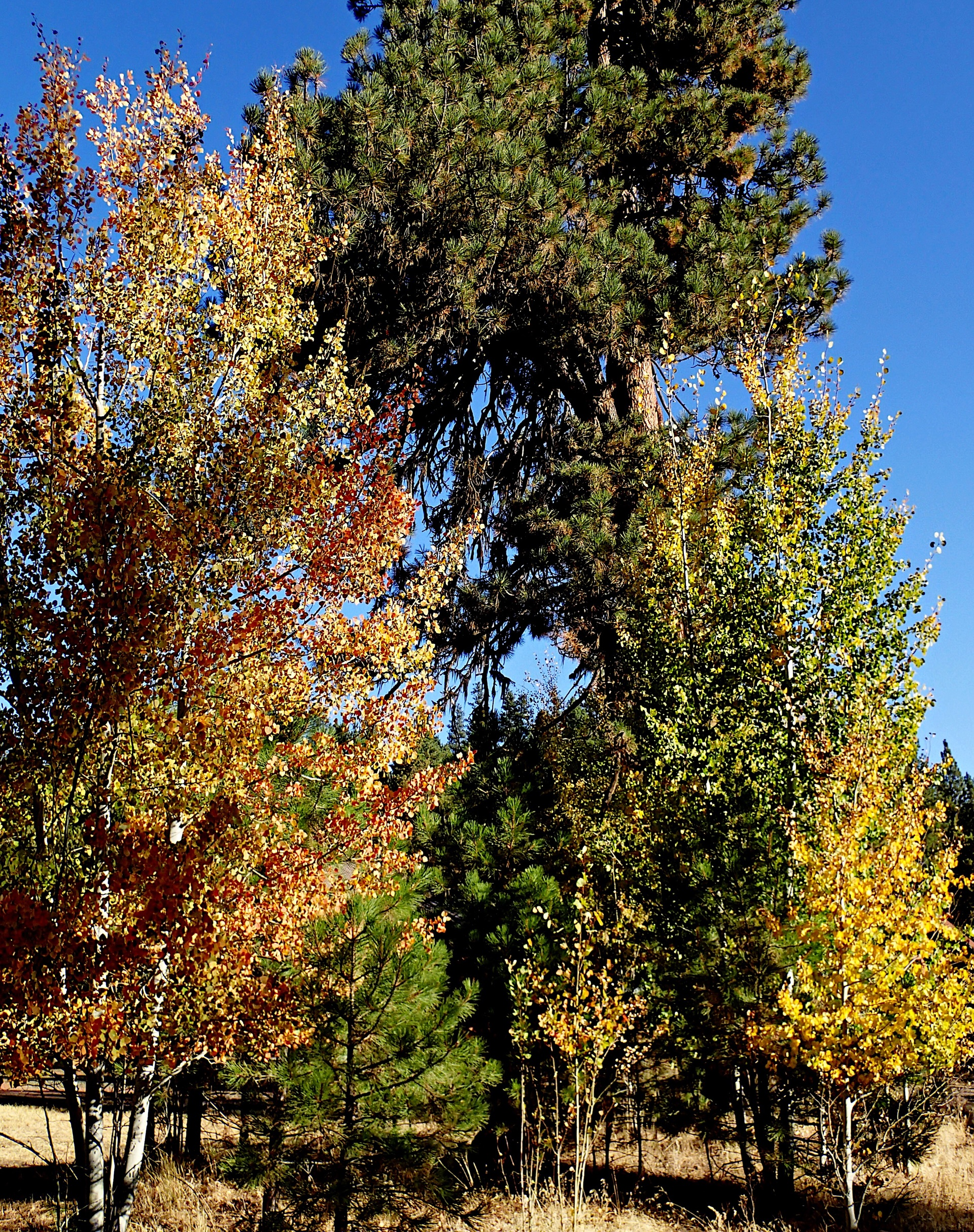 Beautiful deciduous trees in their brilliant fall colors of red, yellow, orange, and gold amongst tall ponderosa pine trees in the forests of Central Oregon on a sunny and clear fall day.