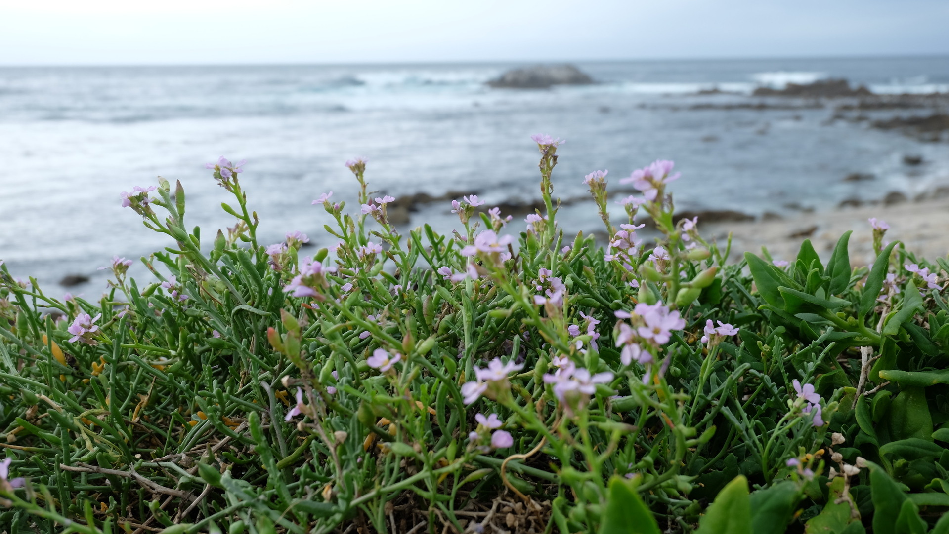 Pink wildflowers on the coast