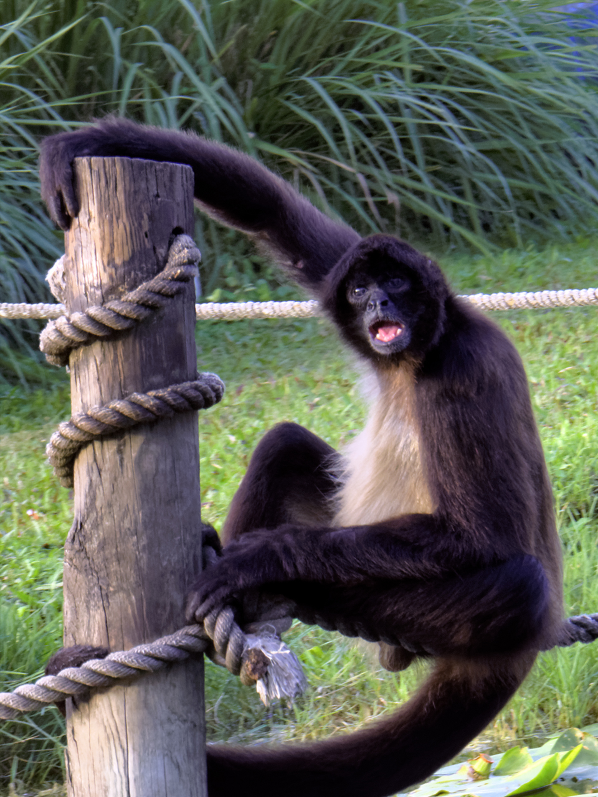 foap com spider monkey spider monkey hanging on to wood pole