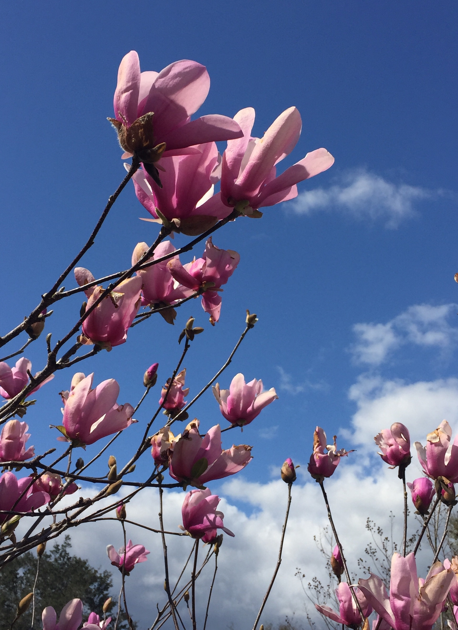 Chinese magnolias early spring bloomer
