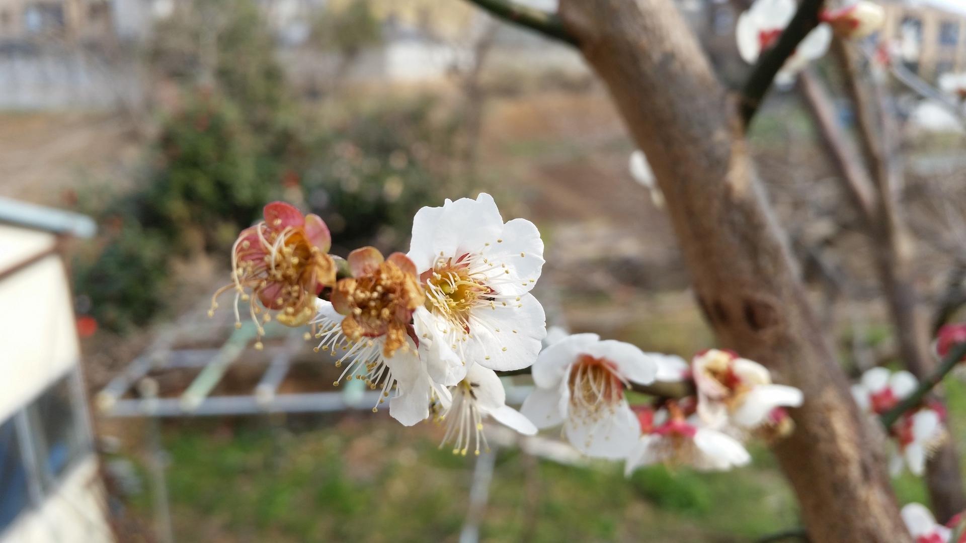 Flower of the plum | present4_u, apple, blooming, branch