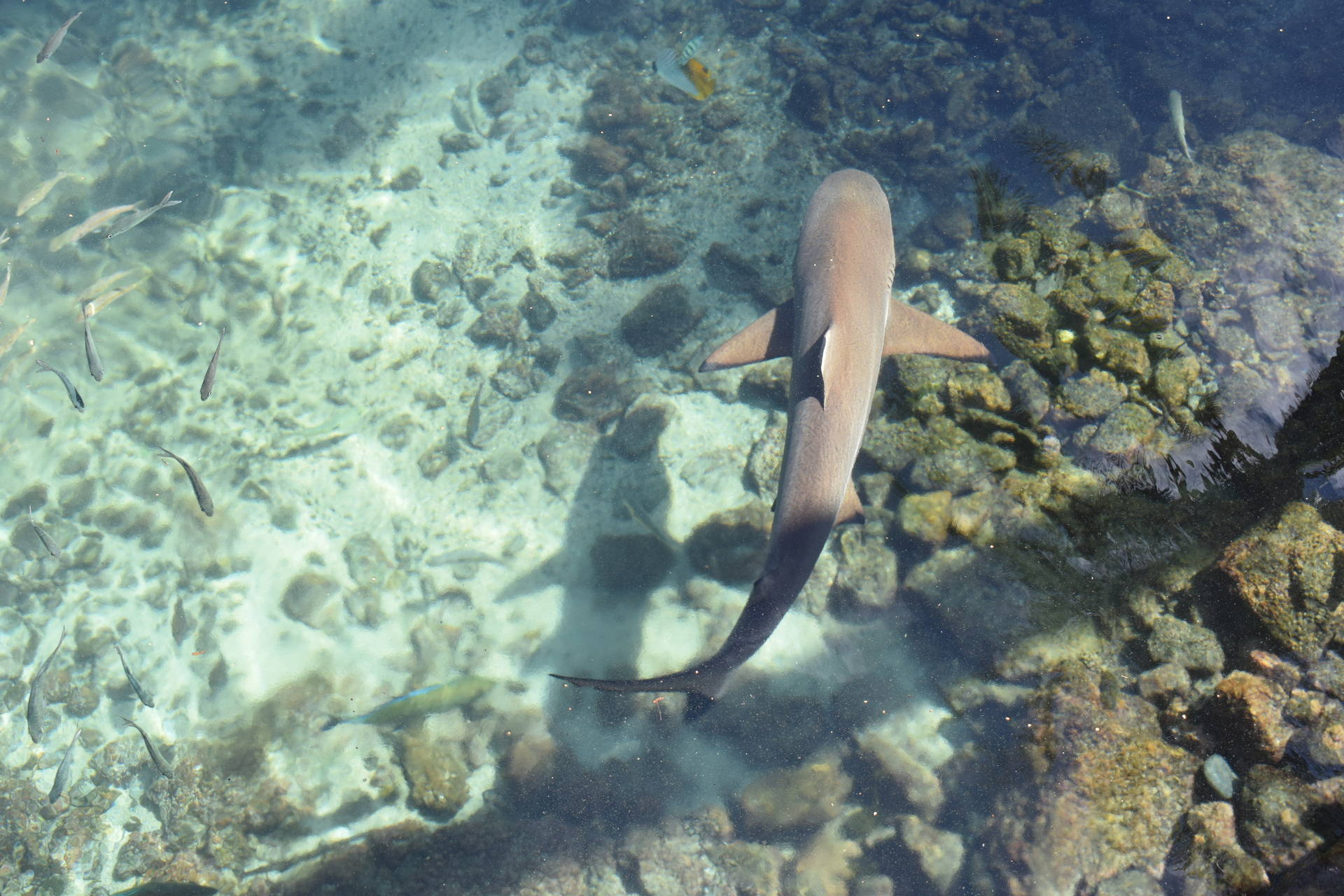 Underwater view of shark with fishes
