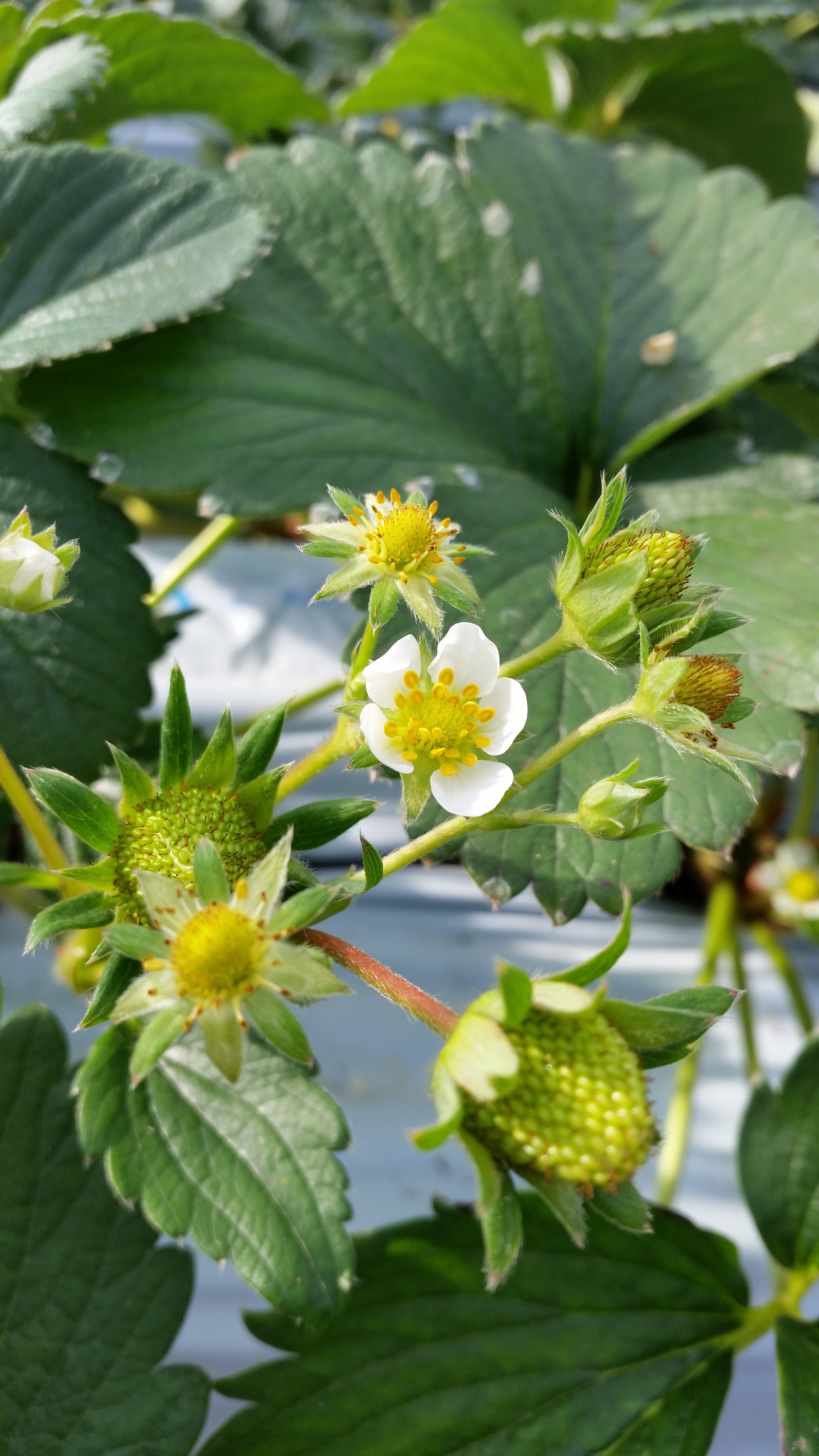 Flower,Receptacle of the strawberry   present4_u, agriculture, bloom, blur