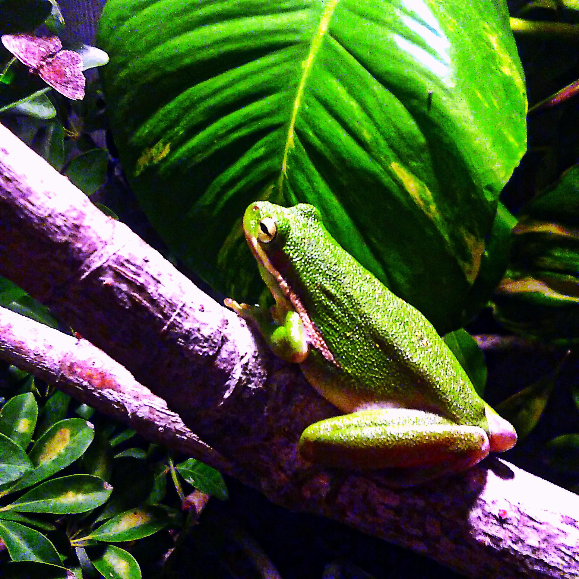 Green Tree Frog On A Branch At Night