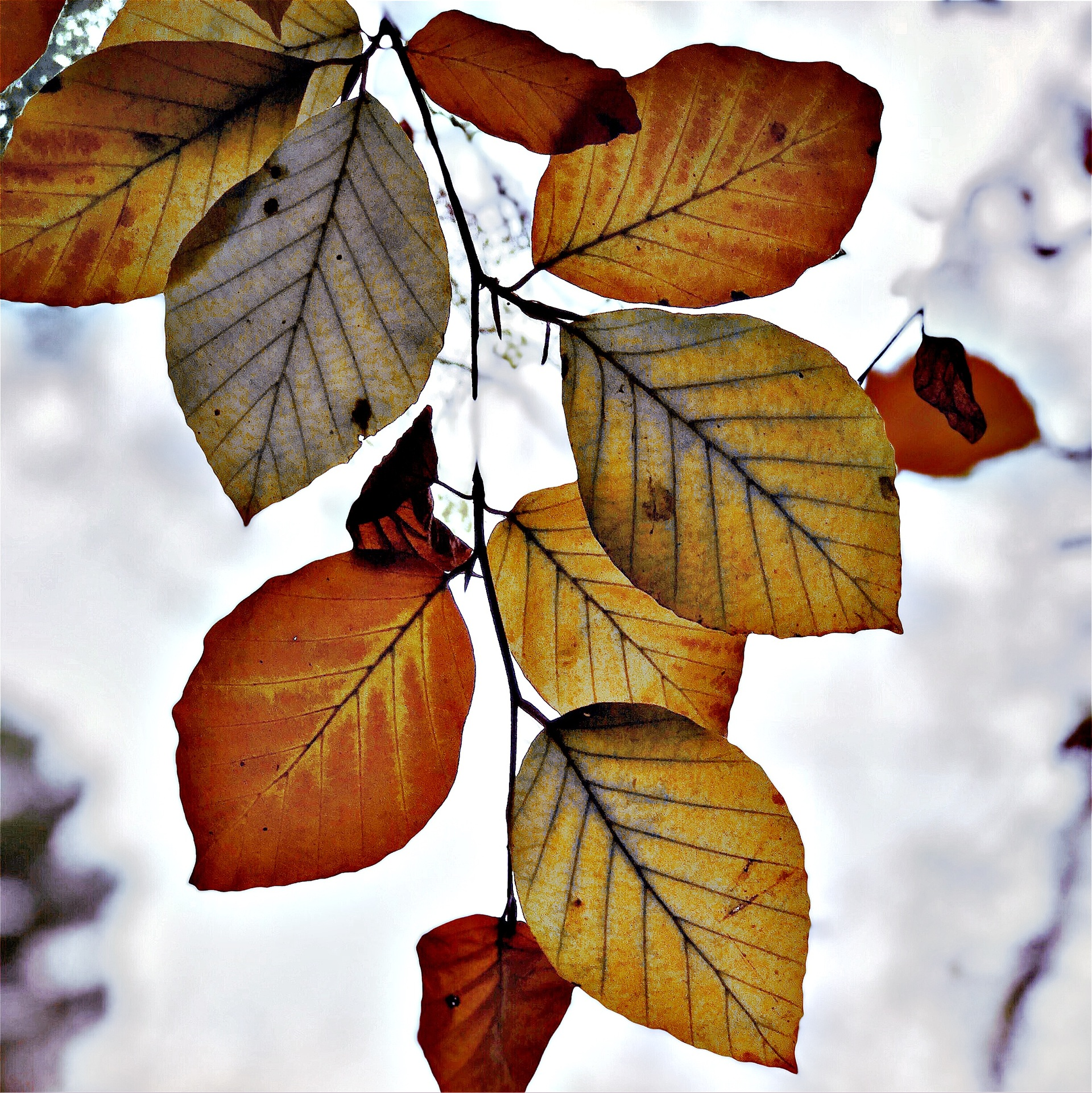 Autumnal leafs   mezmic, leaf, fall, season