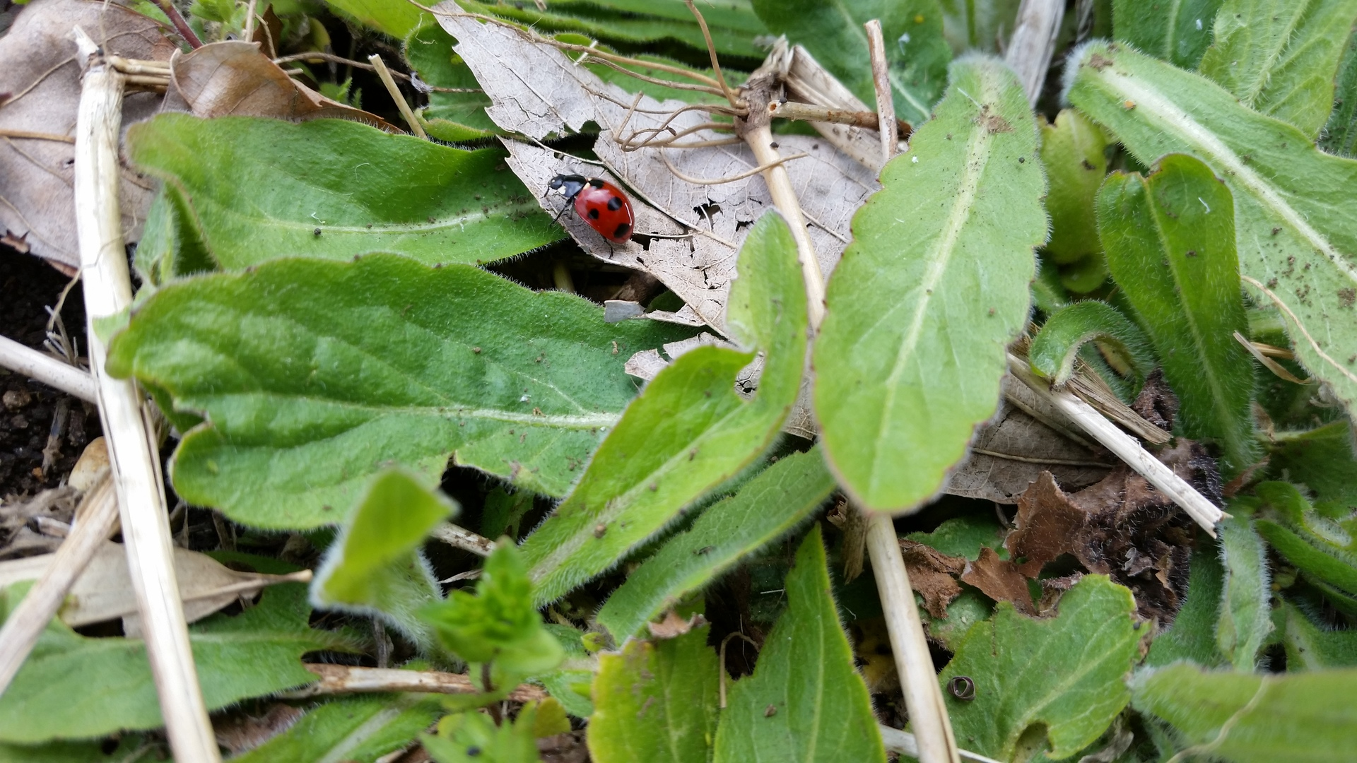 Ladybug   present4_u, close-up, environment, leaf