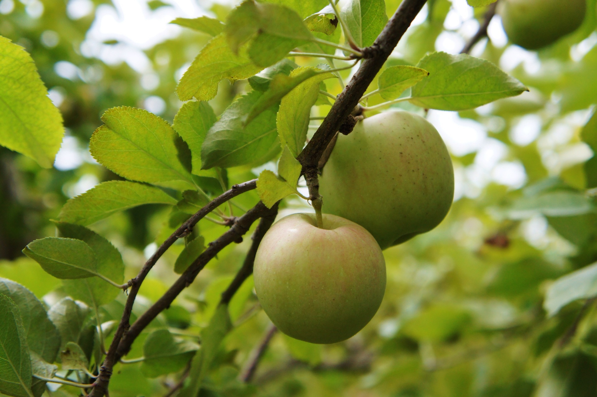 Branch of the apple tree