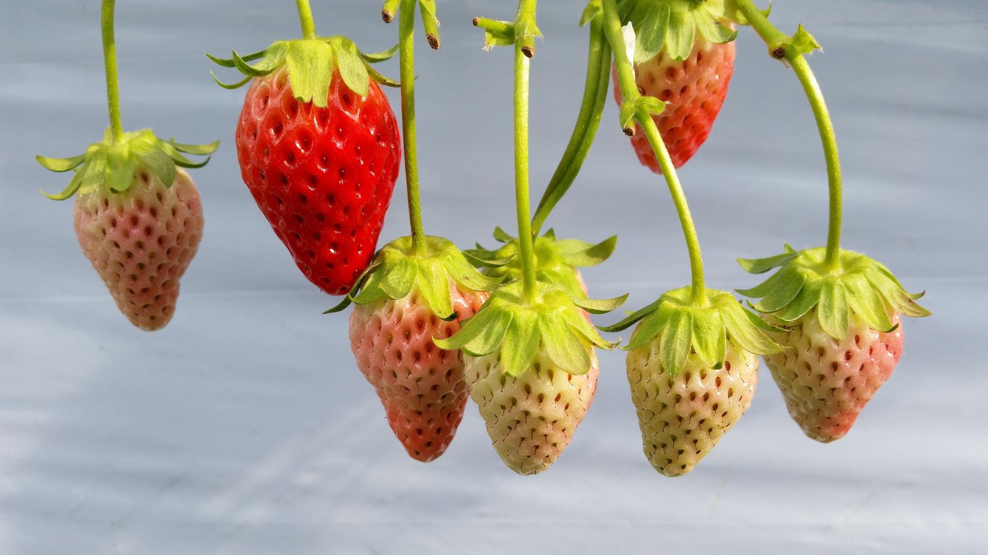 Fragaria ananassa   present4_u, berry, branch, food