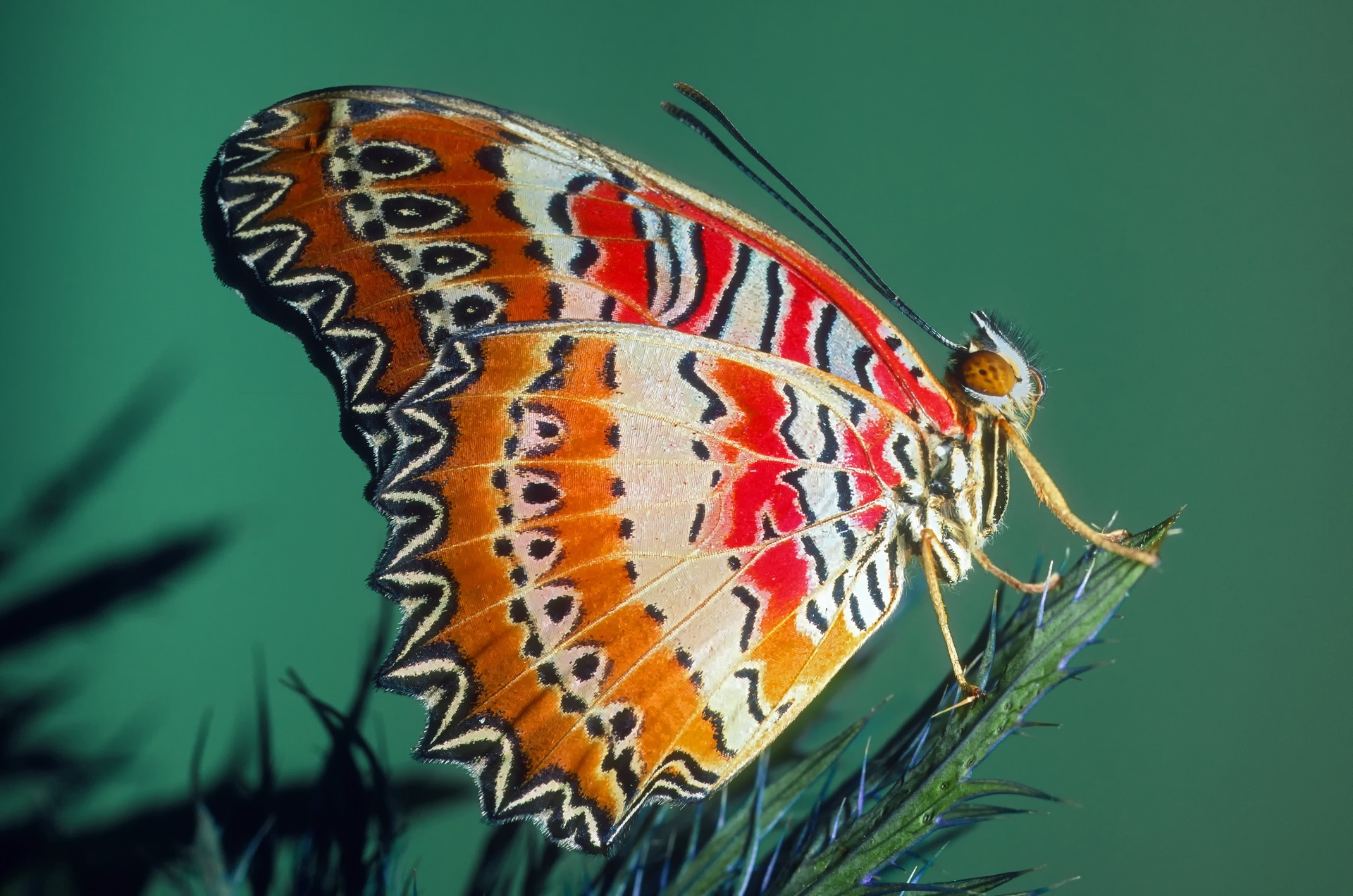 Close up of a Leopard Lacewing butterfly.