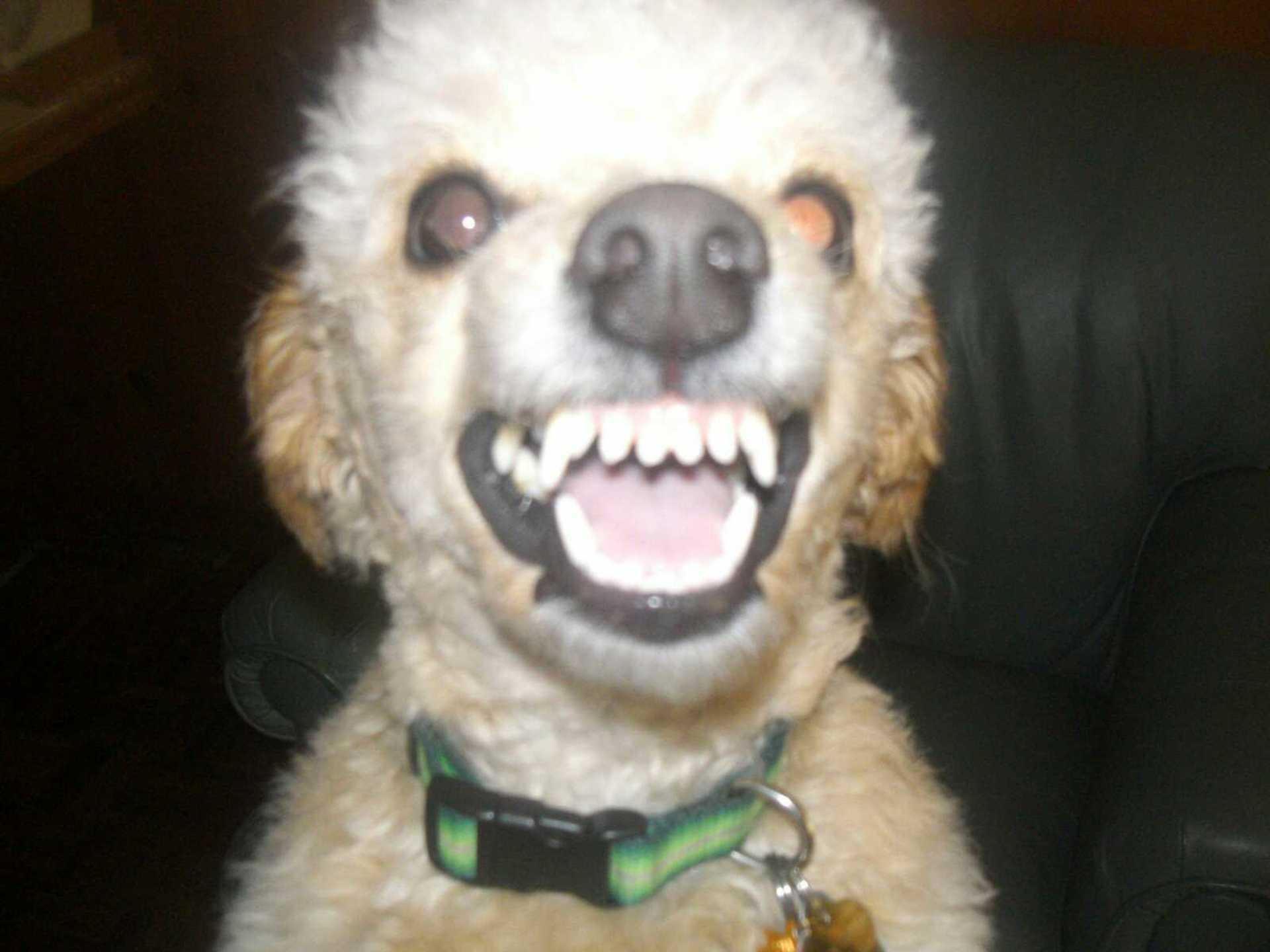 Bichon Poo Dog Shows Her Teeth