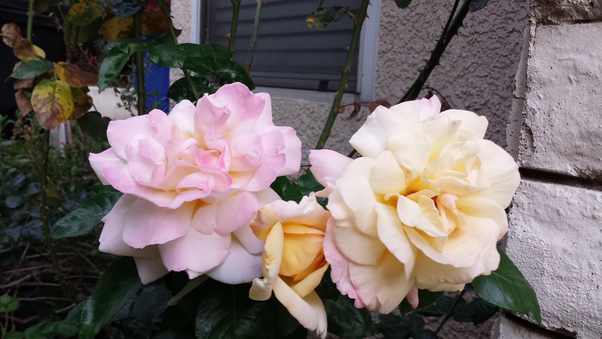 Flower, Rose, No Person, Petal, Flora
