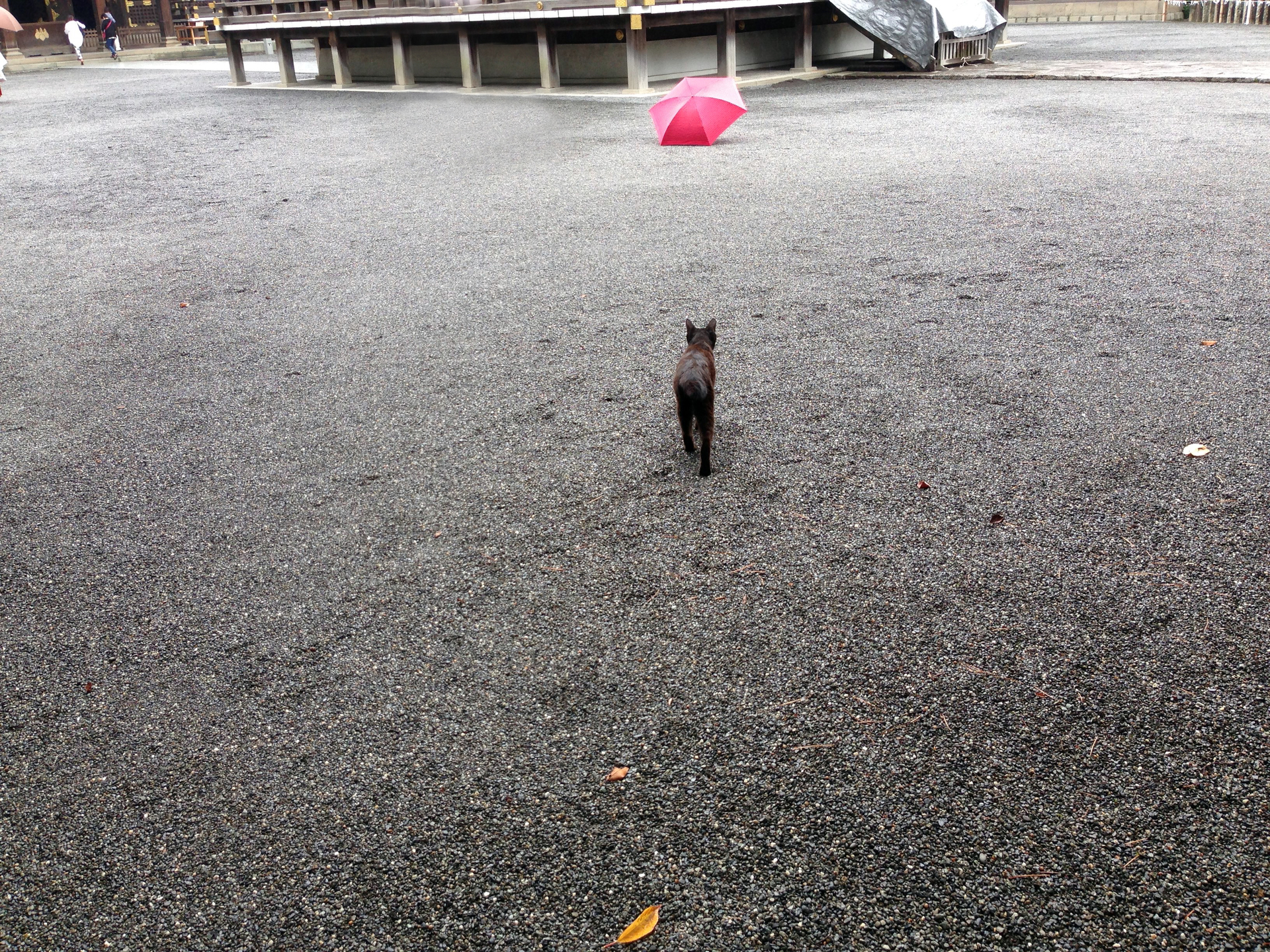 Cat walks towards the umbrella