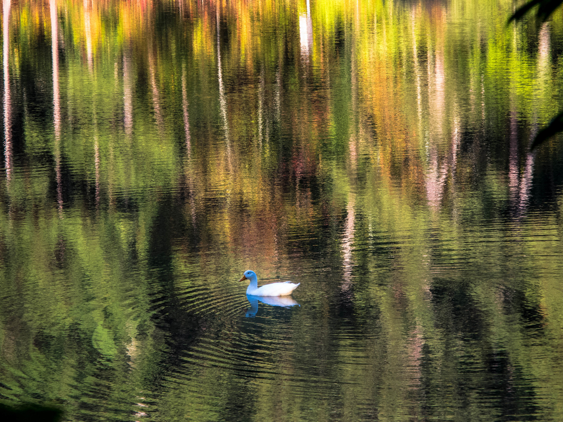 Rainbow Bokeh. A suck swimming in a pond reflecting fall leaves