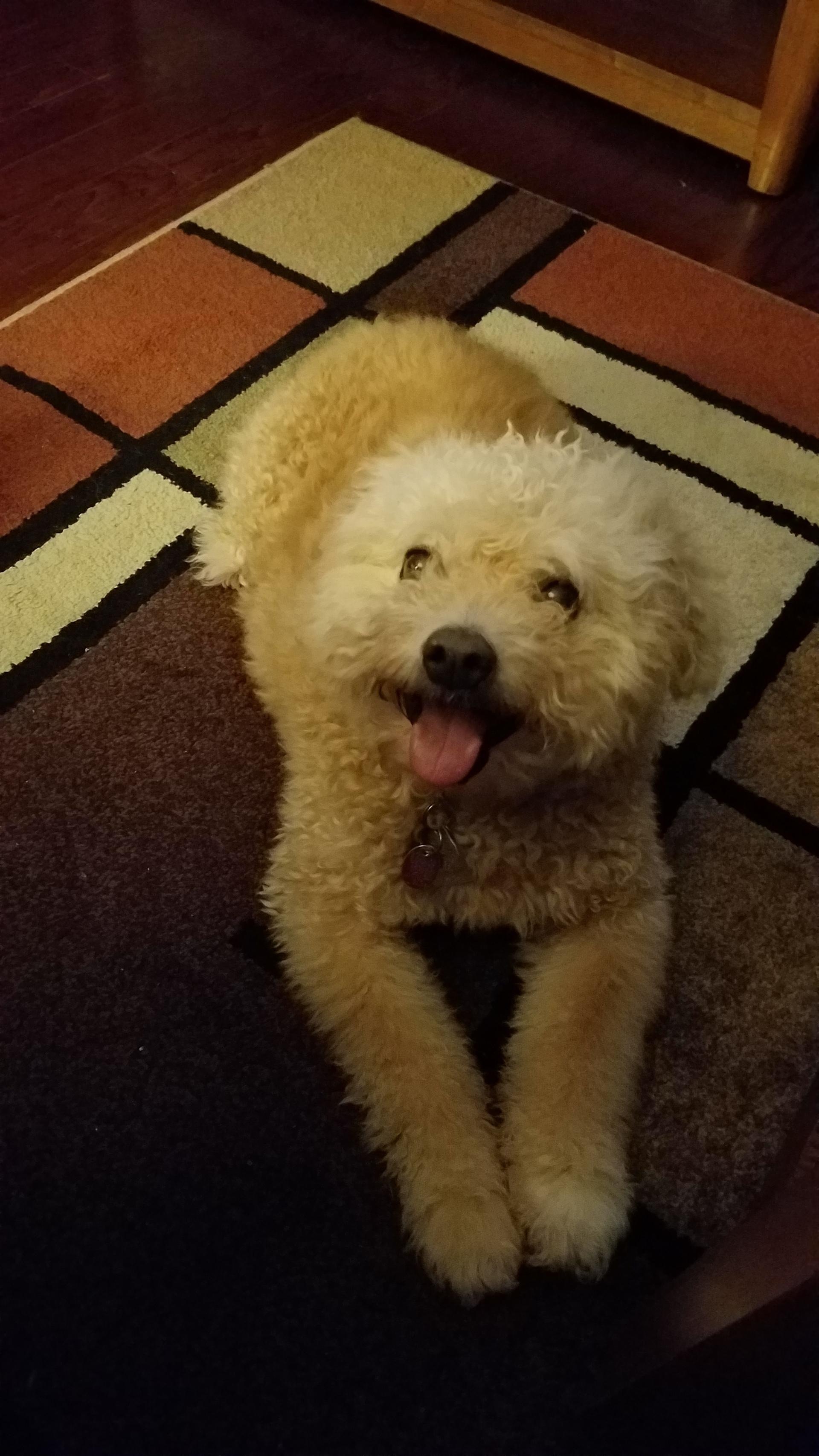 bichon poodle dog | elise81, animal, adorable, no person