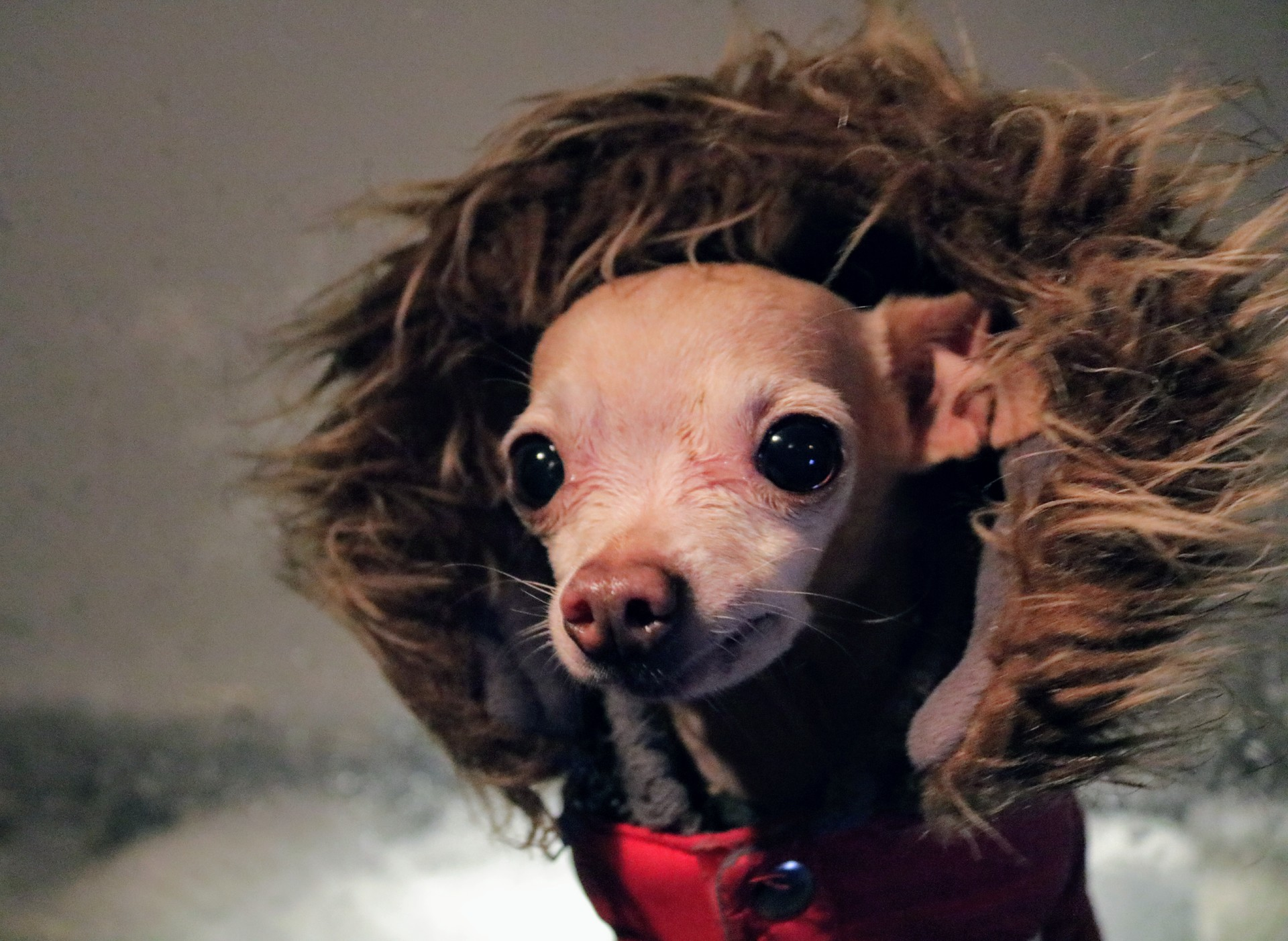 Chihuahua | rick.cognyl.fournier, dog, canine, cute