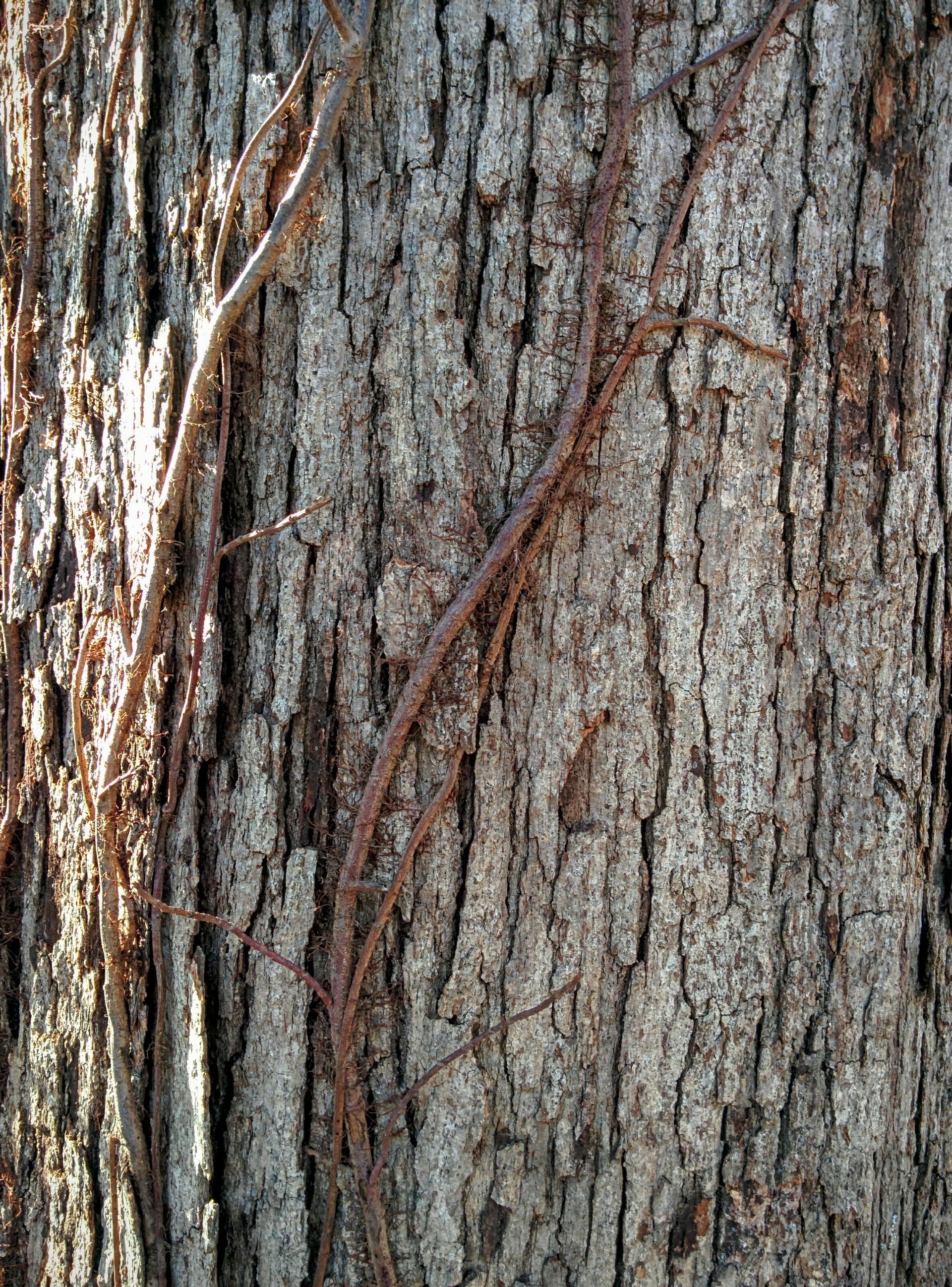clinging vines | jrcastine, background, bark, detail