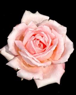 Beautiful Pink Roses! example photo